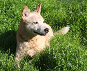 A well-trained dog sitting happily in the grass